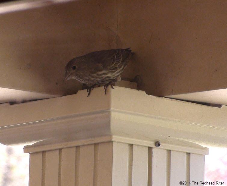 bird looking at eggs in nest in wreath Survival Success