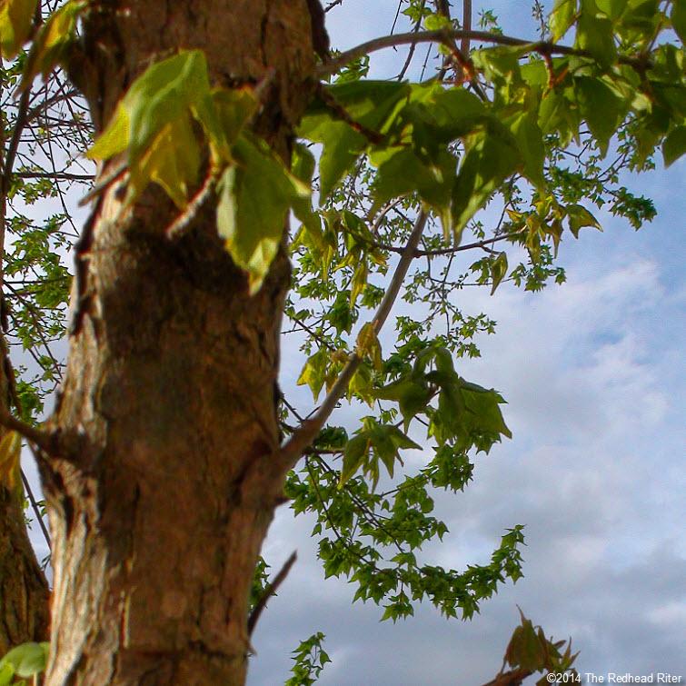 new green leaves peeling bark tree blue sky Virginia