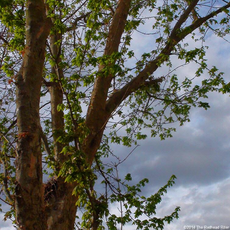 new green leaves tree blue sky Virginia
