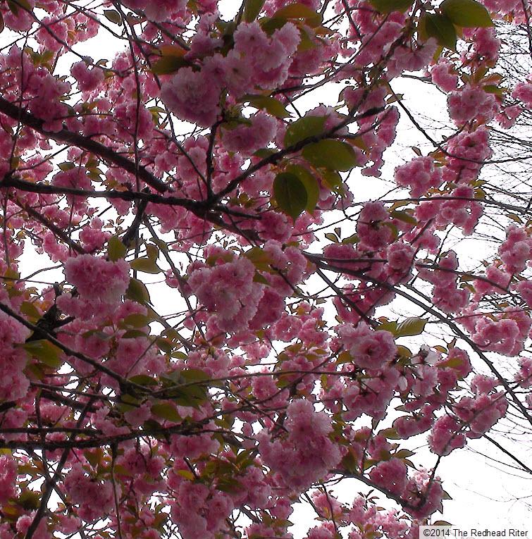pink flowers blossom tree spring 2