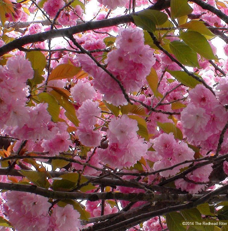 pink flowers blossom tree spring 3