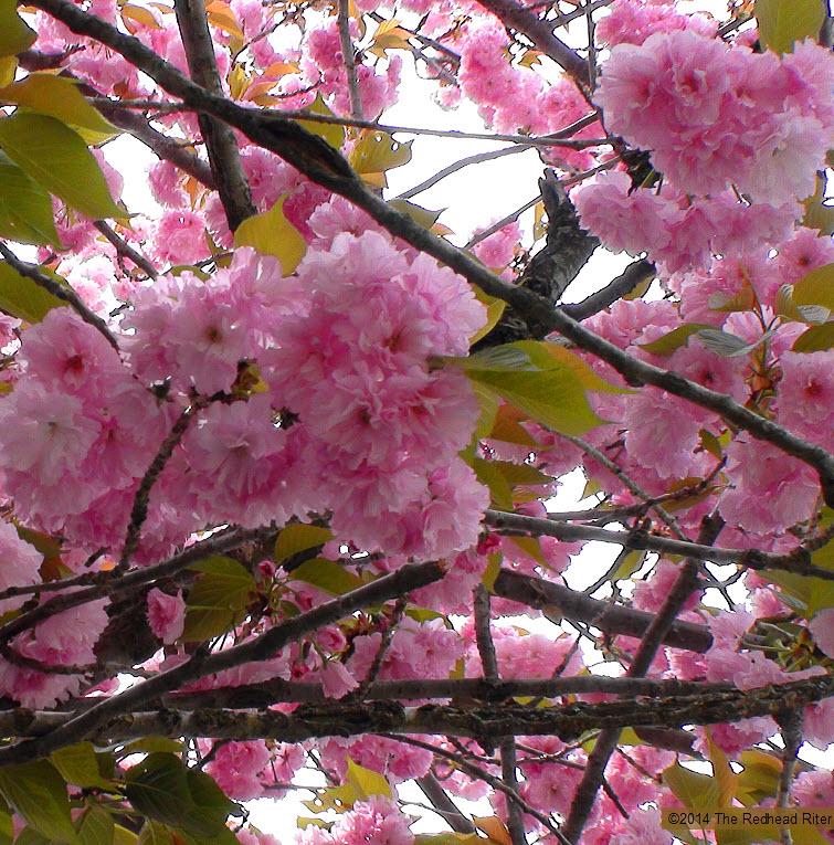 pink flowers blossom tree spring 4
