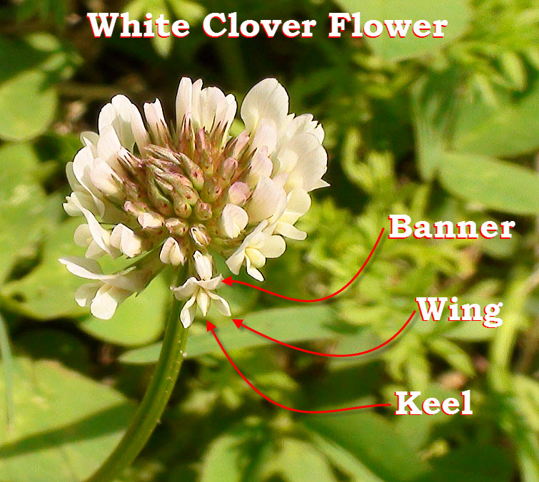 Parts Of White Clover Flower