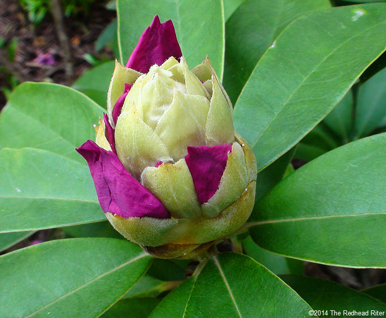 Rhododendrons hot pink flower bud