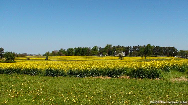 Yellow fields of flowering rapeseeds for canola oil in richmond yellow field flowering rapeseeds canola oil richmond virginia mightylinksfo