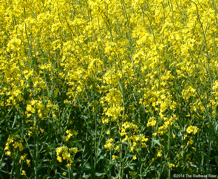 Yellow Flowering Rapeseeds Canola Oil Richmond Virginia