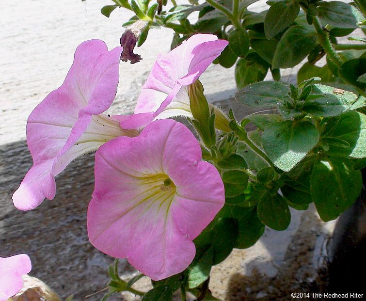 pink petunia sunshine quote 1
