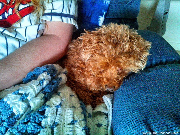 red toy poodle redhead sherry riter