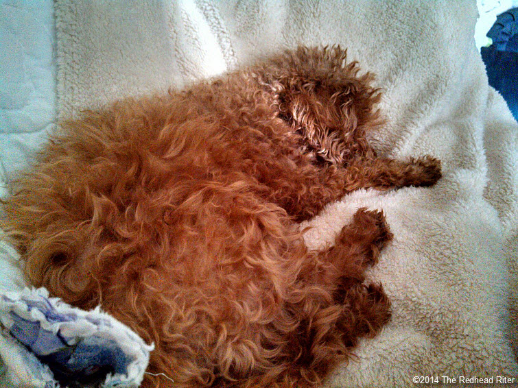 sleeping red toy poodle with redhead sherry riter