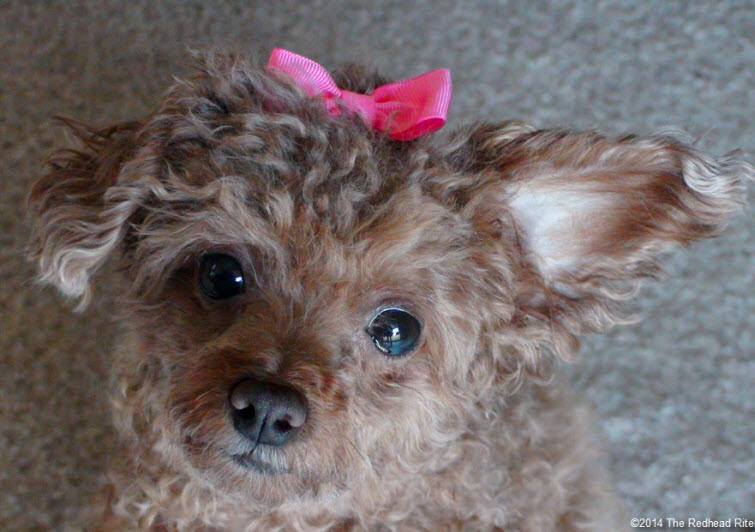 Bella red toy poodle hot pink bow 755