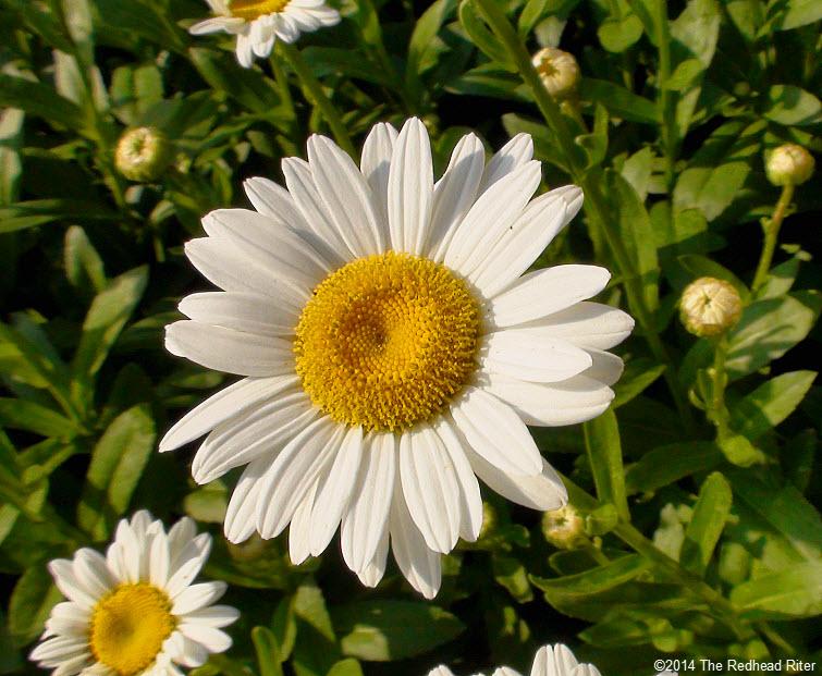 daisy flowers daisies in sunshine 2