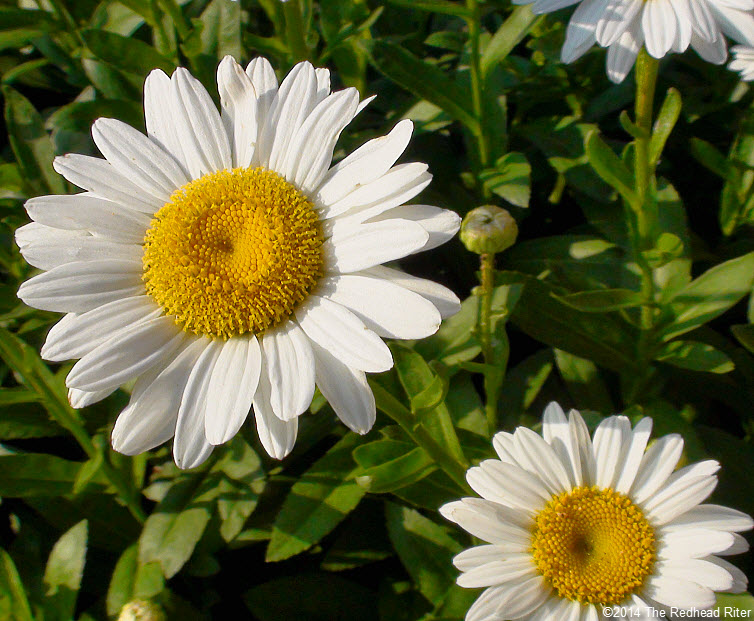 daisy flowers daisies in sunshine 3
