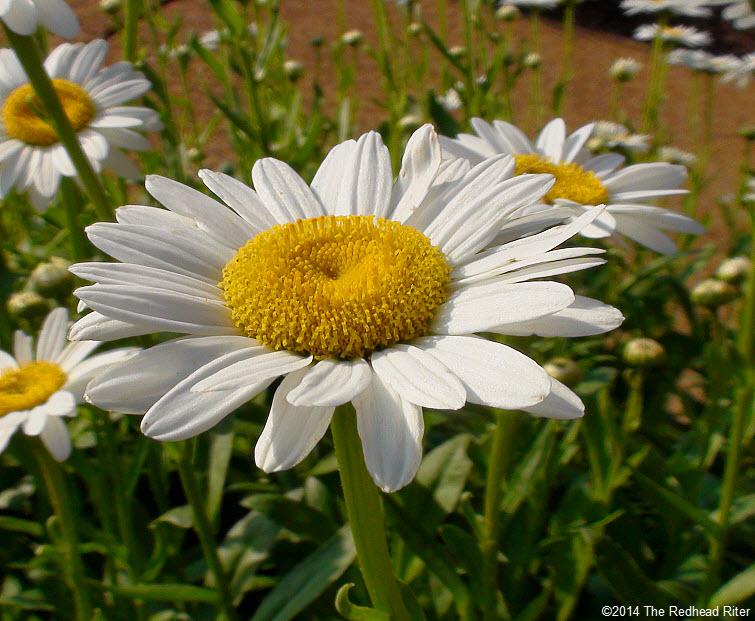 daisy flowers daisies in sunshine 4