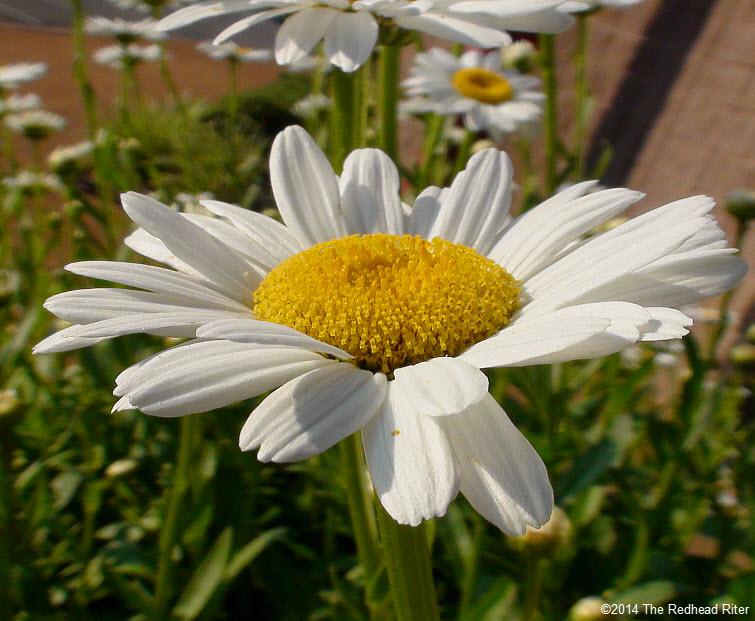 daisy flowers daisies in sunshine 5