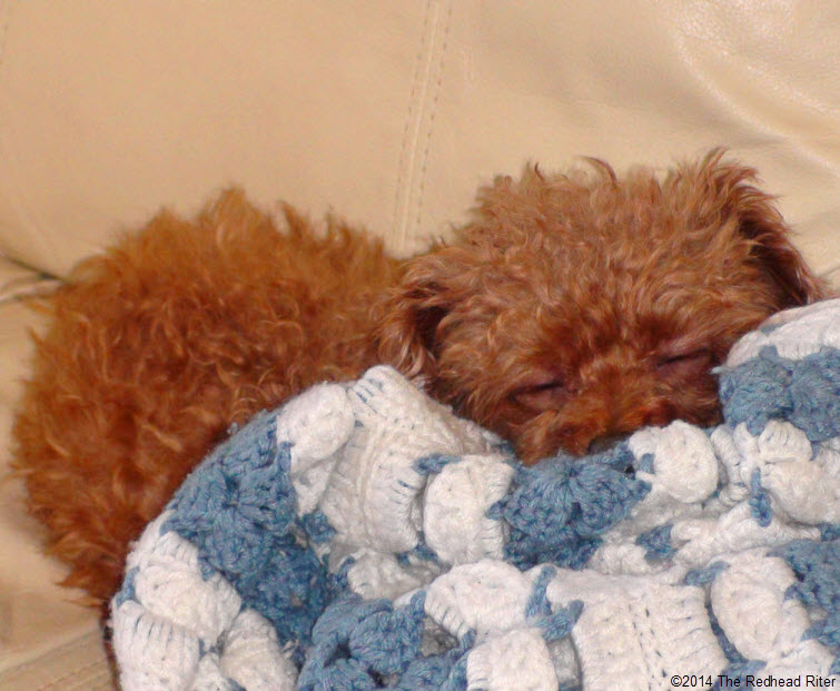 Bella, Red Apricot Toy Poodle