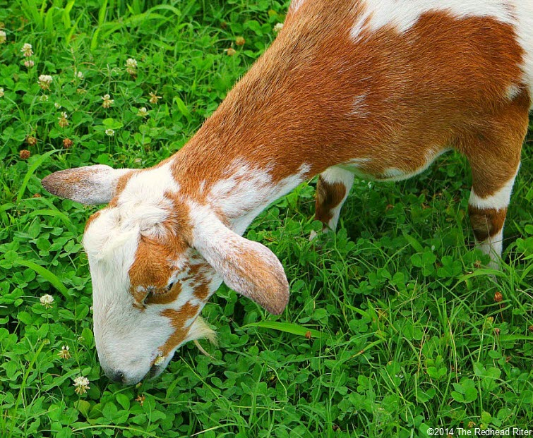 closeup brown goat eating grass Weeping Radish Outer Banks